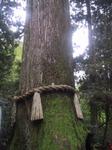 安産杉1.jpg