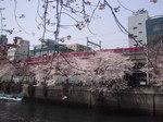 長メ橋桜7.JPG