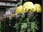 徳恩寺08菊8.jpg