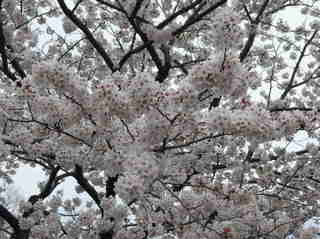 港南台北公園 2012 さくら11.JPG