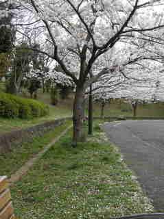 港南台北公園 2012 さくら18.JPG