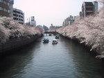 長メ橋桜4.JPG