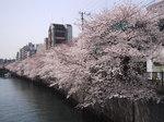 長メ橋桜5.JPG