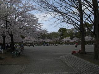 お花見☆桜 港南台北公園 2011-top.JPG