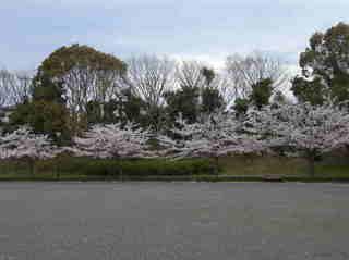 港南台北公園 2012 さくら08.JPG