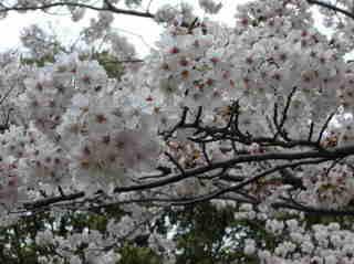 港南台北公園 2012 さくら10.JPG