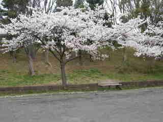 港南台北公園 2012 さくら14.JPG