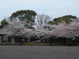 港南台北公園 2012 さくら15.JPG