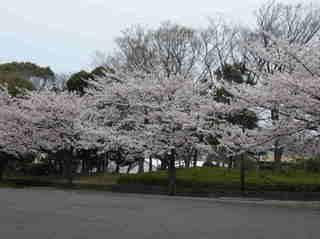 港南台北公園 2012 さくら16.JPG