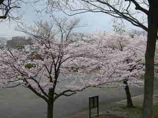 港南台北公園 2012 さくら21.JPG
